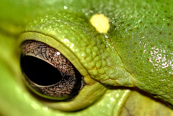MAGNIFICENT TREE FROG EYE.jpg