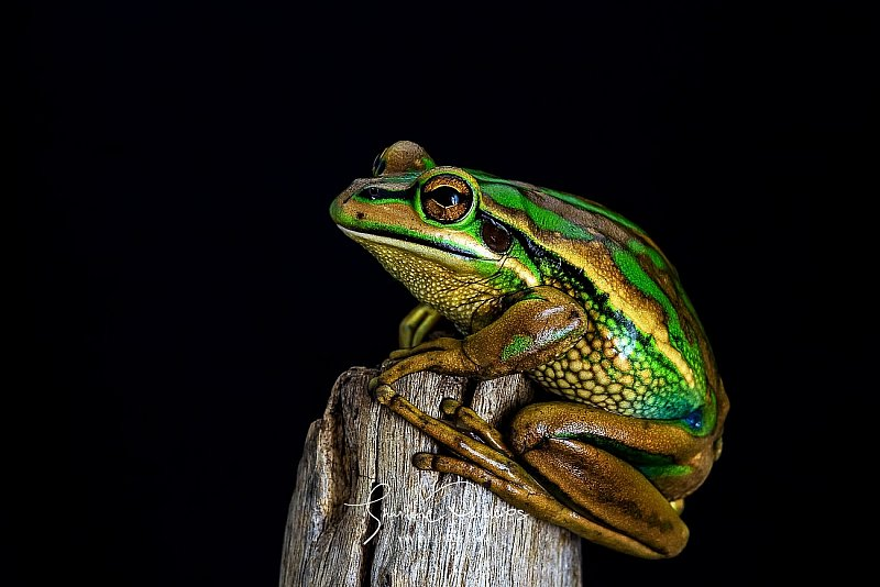 large_6eda8104d_original_5e529f58eeb307c_Green_and_Golden_Bell_Frog-1.jpeg