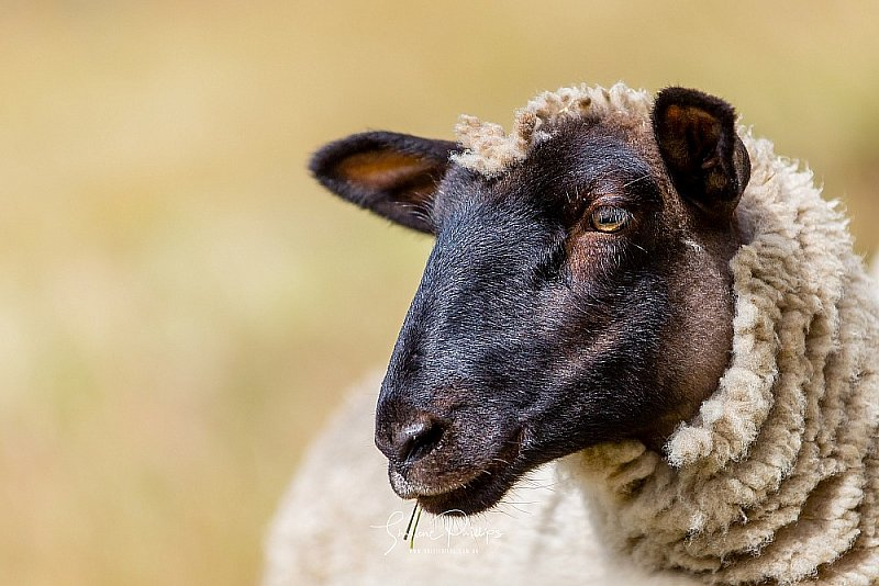 small_bbbc01_black_sheep.jpg